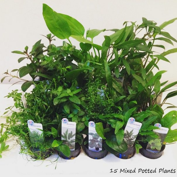 20 Mixed Potted Aquarium Plants   Buy Plants For Your Aquascape